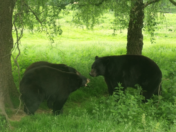 Bears at Woburn Safari Park