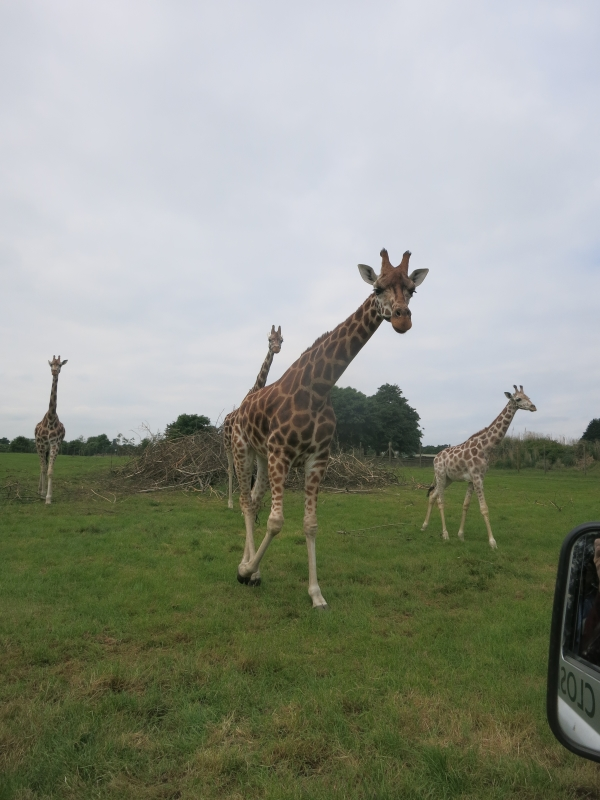 Giraffes at Woburn Safari Park