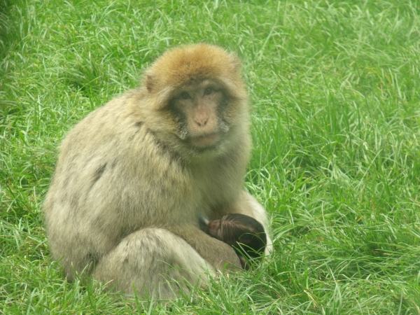 Monkey at Woburn Safari Park