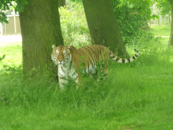 Tiger at Woburn Safari Park